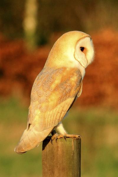 Barn owl on fence post in the late evening sun