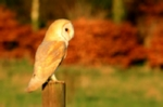 Barn owl photograph mounted in pink champagne mount
