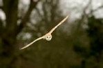 Barn owl photograph in pale organza mount