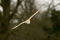 Barn owl flying over my hay field