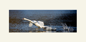 Mute swan mounted print with dream mount