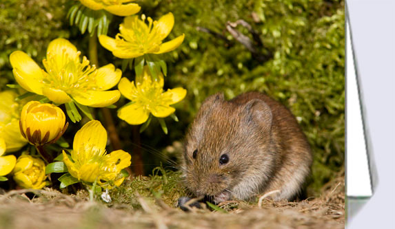 Bank vole greeting card