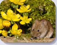 Bank vole coasters, placemats, and fridge magnets 53360