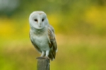Barn owl perched on a fence post, prints, mounted prints