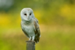 Barn owl perched on a fence post, photo, mounted photo