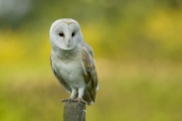 Barn owl hunting from a fence post, prints and mounted prints