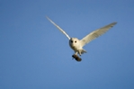 Barn owl with prey mounted photo