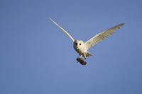 Barn owl with prey mounted print