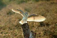 Barn owl prints and mounted prints