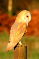 Barn owl mounted print