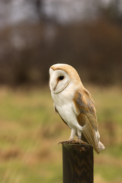 Barn owl perched on fence post