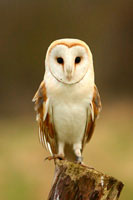 Barn owl peched on tree stump