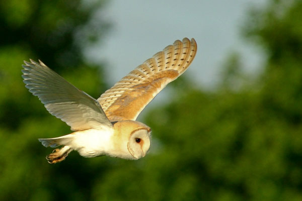 Picture of a barn owl in flight