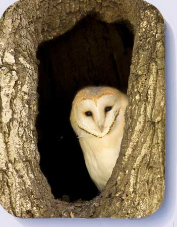 Coasters with picture of a barn owl in a hollow tree