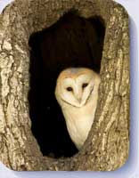 Coasters and placemats with picture of a barn owl in a hollow tree