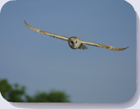 Drinks coaster with photo of a barn owl in flight