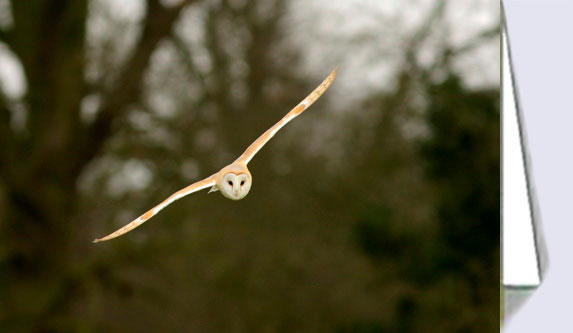 Greeting card with picture of a barn owl in flight