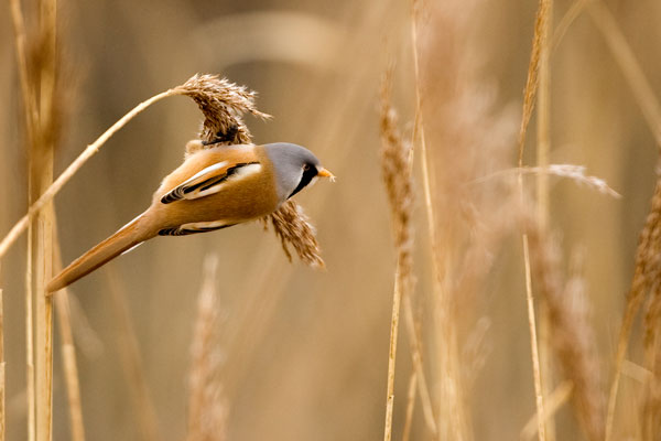 Male bearded tit feeding on seed head of Norfolk reed