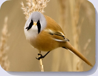 Bearded tit on Norfolk reed stem