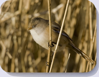 Female bearded tit on reed stalk