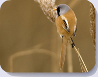 Bearded reedling on Norfolk reed stem
