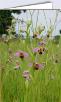 Wild bee orchid on my Norfolk smallholding