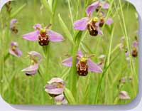 Bee orchids coasters, placemats, and fridge magnets 10751