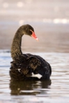 Photo of a black swan, prints, mounted prints