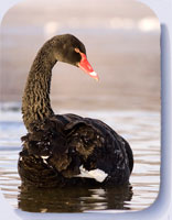 Photo of a black swan, coasters and fridge magnets