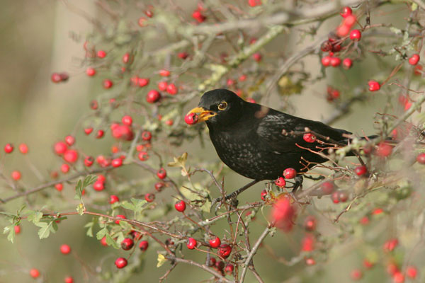 Blackbird eating hawthorn berries