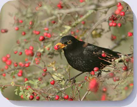 Coasters and placemats bearing a photo of a blackbird eating a hawthorn berry