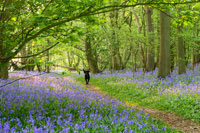 Mounted photograph of Norfolk bluebell woods