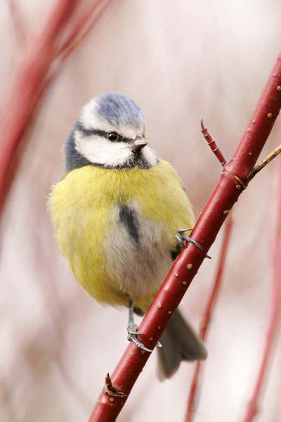 Blue tit photographed on red dogwood stem