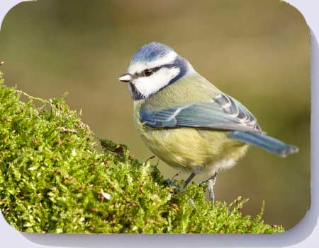 Blue tit on moss covered log, coaster and placemats