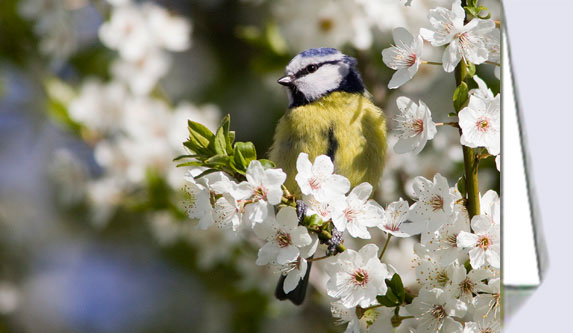 Greeting cards with blue tit in cherry blossom