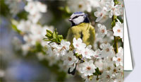 Blue tit in cherry blossom, greeting card