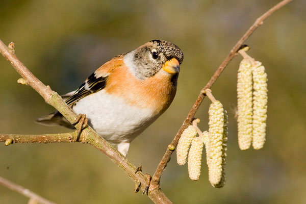 Photograph of a male brambling