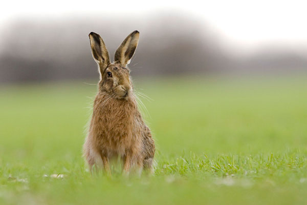 Brown hare photo by Peter Mallett