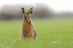 Hare photos, brown hare photo, hare picture