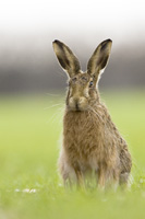 Brown hare photographed at Holkham Norfolk