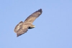 Common buzzard flying over my farm in Norfolk