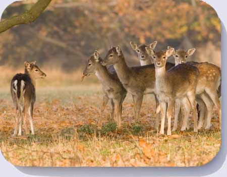 Fallow deer fawns photo on placemats, coasters and fridge magnets
