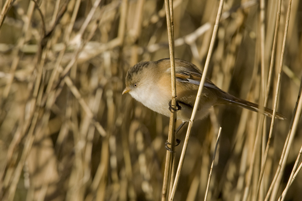 Female bearded tit photo, Cley nature reserve Norfolk