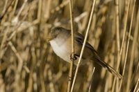Bearded tit photograph (female)