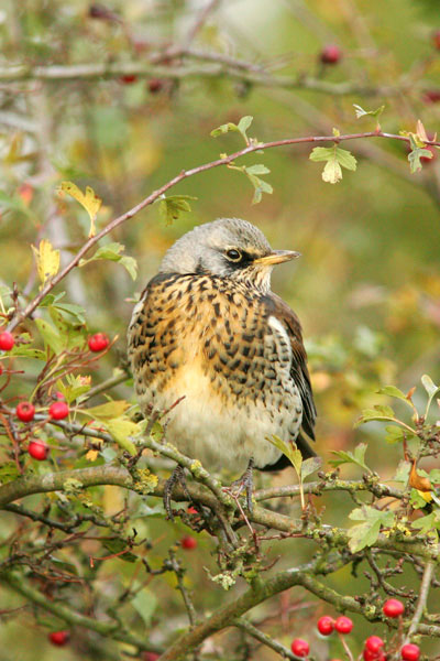 Fieldfare feeding on hawthornberries