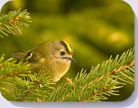 Goldcrest photographed in a Chrismas tree, available as placemats, coasters and fridge magnets