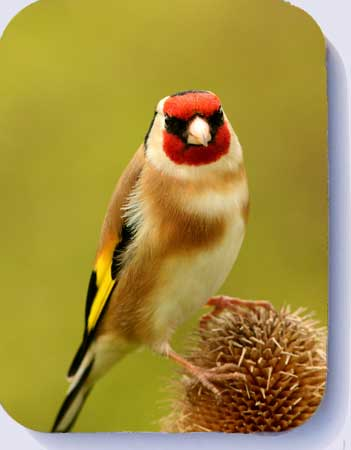 Goldfinch on teasel, coasters and fridge magnets