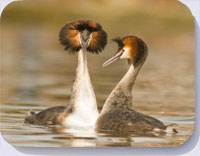 Photo of great crested grebes courship display on coasters, placemats and fridge magnets