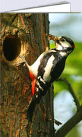 Great spotted woodpecker greeting cards