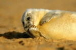 Baby grey seal on beach